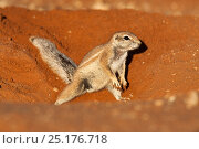 Ground squirrel (Xerus inauris) burrowing, Kgalagadi Transfrontier Park, Northern Cape, South Africa. Non-ex. Стоковое фото, фотограф Ann & Steve Toon / Nature Picture Library / Фотобанк Лори