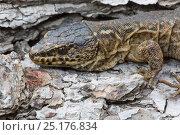 Купить «Island Night Lizard (Xantusia riversiana) Channel Islands, California, USA, May.  Endangered species.», фото № 25176834, снято 11 декабря 2019 г. (c) Nature Picture Library / Фотобанк Лори