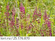 Купить «Hedge Woundwort (Strachys sylvatica) Hutchinson's Bank, New Addington, Croydon, South London, England, UK,  June», фото № 25176870, снято 19 августа 2018 г. (c) Nature Picture Library / Фотобанк Лори