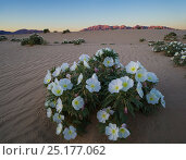 Night blooming birdcage evening primrose (Oenothera deltoides) with the Sheep Hole Mountains in the background at sunset, BLM (Bureau of Land Management) land, Mojave Desert, California. March 2014. Стоковое фото, фотограф Jack Dykinga / Nature Picture Library / Фотобанк Лори