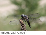 Scarce chaser dragonfly (Libellula fulva) Bulgaria, July. Стоковое фото, фотограф Kim Taylor / Nature Picture Library / Фотобанк Лори
