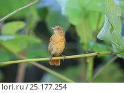 Купить «Barred antshrike (Thamnophilus doliatus) female. Tobago, West Indies.», фото № 25177254, снято 20 июля 2019 г. (c) Nature Picture Library / Фотобанк Лори