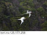 Купить «RF- Red-billed tropicbirds (Phaethon aethereus) in flight. Tobago, West Indies. Digital Composite.», фото № 25177258, снято 19 июля 2019 г. (c) Nature Picture Library / Фотобанк Лори