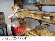 Купить «Linda Rennie inspecting a tank containing Harvest mice (Micromys minutus), part of a population being reared in captivity ahead of a reintroduction, Lifton, Devon, UK, May. Model released.», фото № 25177414, снято 24 октября 2018 г. (c) Nature Picture Library / Фотобанк Лори