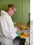 Gemma Keohane preparing food for Hazel dormice (Muscardinus avellanarius... Стоковое фото, фотограф Nick Upton / Nature Picture Library / Фотобанк Лори