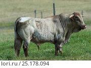 Купить «Alentejana Bull, pure bred herd. Guerreiro, Castro Verde, Alentejo, Portugal, May.», фото № 25178094, снято 14 августа 2018 г. (c) Nature Picture Library / Фотобанк Лори