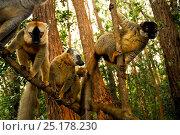 Купить «Common brown lemur (Eulemur fulvus) and Red-fronted brown lemurs (Eulemur rufus) in tree, Andasibe-Mantadia National Park, Madagascar.», фото № 25178230, снято 22 сентября 2018 г. (c) Nature Picture Library / Фотобанк Лори