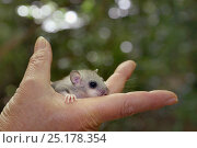 Купить «Young Edible / Fat Dormouse (Glis glis) held in a hand during a monitoring project in woodland where this European species has become naturalised, Buckinghamshire, UK, August, Model released.», фото № 25178354, снято 16 августа 2018 г. (c) Nature Picture Library / Фотобанк Лори