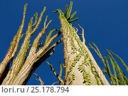 Купить «Madagascar ocotillo (Alluaudia procera) Berenty Reserve, Madagascar.», фото № 25178794, снято 20 июля 2018 г. (c) Nature Picture Library / Фотобанк Лори