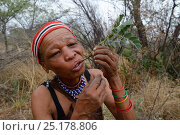 Купить «Naro San woman eating the root of a medicinal 'liver plant', Kalahari, Ghanzi region, Botswana, Africa. Dry season, October 2014.», фото № 25178806, снято 2 июля 2020 г. (c) Nature Picture Library / Фотобанк Лори