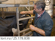 Купить «Veterinarian Dewi Jones injecting antibiotics into the rump of a sick Holstein Friesian cow (Bos taurus) held in a crush, Gloucestershire, UK, September 2014.  Model released.», фото № 25178838, снято 23 июля 2018 г. (c) Nature Picture Library / Фотобанк Лори