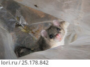 Купить «Adult Edible / Fat Dormouse (Glis glis) held temporarily inside a plastic sack it has been tipped into from a nestbox, during a monitoring project in woodland...», фото № 25178842, снято 24 октября 2018 г. (c) Nature Picture Library / Фотобанк Лори