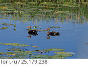 Купить «Black-bellied whistling-ducks (Dendrocygna autumnalis) swimming, Trinidad and Tobago.», фото № 25179238, снято 17 июля 2019 г. (c) Nature Picture Library / Фотобанк Лори