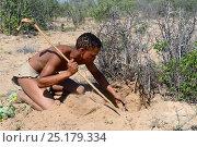 Купить «Naro San Bushman digging out a milkplant root (Raphionacme sp) to drink the juice contained in its fibers. Kalahari, Ghanzi region, Botswana, Africa. Dry season, October 2014.», фото № 25179334, снято 9 июля 2020 г. (c) Nature Picture Library / Фотобанк Лори