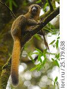 Купить «Golden bamboo lemur (Hapalemur aureus) feeding on bamboo, Ranomafana National Park, Madagascar. Critically Endangered species.», фото № 25179638, снято 20 сентября 2018 г. (c) Nature Picture Library / Фотобанк Лори