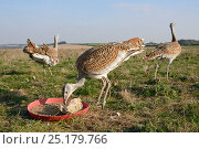 Low wide angle view of recently released young Great bustards (Otis tarda) eating mealworms at temporary feeding station on Salsibury plain, with another... Стоковое фото, фотограф Nick Upton / Nature Picture Library / Фотобанк Лори
