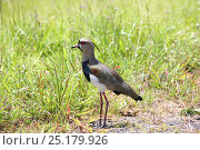 Купить «Southern lapwing (Vanellus chilensis) Tobago, West Indies.», фото № 25179926, снято 20 июля 2019 г. (c) Nature Picture Library / Фотобанк Лори