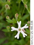 Купить «Catchfly (Silene species) Valsavarenche, Italian Alps, Italy.», фото № 25180338, снято 23 сентября 2018 г. (c) Nature Picture Library / Фотобанк Лори