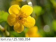 Купить «Marsh marigold / Kingcup (Caltha palustris) Vosges, France, April.», фото № 25180354, снято 27 апреля 2018 г. (c) Nature Picture Library / Фотобанк Лори