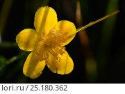 Купить «Marsh marigold / Kingcup (Caltha palustris) Vosges, France, April.», фото № 25180362, снято 23 июля 2019 г. (c) Nature Picture Library / Фотобанк Лори
