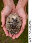 Купить «European hedgehog (Erinaceus europaeus) hand reared orphan held in human hands, Jarfalla, Sweden.», фото № 25180406, снято 20 января 2019 г. (c) Nature Picture Library / Фотобанк Лори