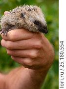 Купить «European hedgehog (Erinaceus europaeus) hand reared orphan held in human hands, Jarfalla, Sweden.», фото № 25180554, снято 20 января 2019 г. (c) Nature Picture Library / Фотобанк Лори