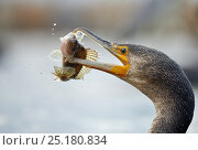 Купить «Cormorant (Phalacrocorax carbo) feeding on fish, Hungary, January», фото № 25180834, снято 16 декабря 2018 г. (c) Nature Picture Library / Фотобанк Лори