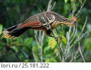 Купить «Hoatzin (Opisthocomus hoazin) Napo wildlife lodge, Amazonas, Ecuador, South America, April.», фото № 25181222, снято 26 марта 2019 г. (c) Nature Picture Library / Фотобанк Лори