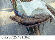 Young Dwarf crocodile (Osteolaemus tetraspis) in wheelbarrow to be sold at market, Oyo, central Republic of the Congo (Congo-Brazzaville). 2008-2009. Стоковое фото, фотограф Steve O. Taylor (GHF) / Nature Picture Library / Фотобанк Лори