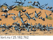 Купить «Demoiselle cranes (Anthropoides virgo) landing at wintering site, Thar desert,  Rajasthan, India.», фото № 25182762, снято 25 мая 2019 г. (c) Nature Picture Library / Фотобанк Лори