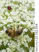 Купить «Dead Honey bee (Apis mellifera) on Wild carrot (Daucus carotta) flowers, cause of death unknown. Cwmbran, South Wales, UK, July.», фото № 25182954, снято 6 июля 2020 г. (c) Nature Picture Library / Фотобанк Лори