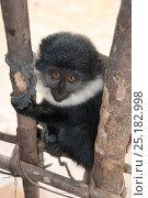 Купить «L'Hoest's monkey (Cercopithecus lhoesti) caught for bushmeat, Ituri Rainforest, Democratic Republic of the Congo, January 2012.», фото № 25182998, снято 23 января 2019 г. (c) Nature Picture Library / Фотобанк Лори