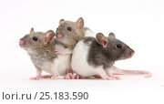 Купить «Three baby Rex rats.», фото № 25183590, снято 16 октября 2018 г. (c) Nature Picture Library / Фотобанк Лори