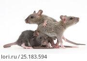 Купить «Three baby Rex rats.», фото № 25183594, снято 16 октября 2018 г. (c) Nature Picture Library / Фотобанк Лори