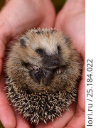 Купить «European hedgehog (Erinaceus europaeus) hand reared orphan held in human hand, Jarfalla, Sweden.», фото № 25184022, снято 19 января 2019 г. (c) Nature Picture Library / Фотобанк Лори