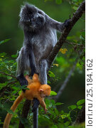 Купить «Silvered / silver-leaf langur (Trachypithecus cristatus) female sitting in a tree dangling her orange coloured young  baby aged 1-2 weeks. Bako National Park, Sarawak, Borneo, Malaysia.», фото № 25184162, снято 26 мая 2018 г. (c) Nature Picture Library / Фотобанк Лори