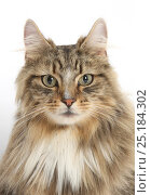 Купить «Tabby Maine Coon male cat.», фото № 25184302, снято 15 июля 2018 г. (c) Nature Picture Library / Фотобанк Лори