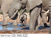 African elephant (Loxodonta africana) herd with a young baby at Hapoor waterhole, Addo Elephant National Park, Eastern Cape, South Africa, February. Стоковое фото, фотограф Ann & Steve Toon / Nature Picture Library / Фотобанк Лори