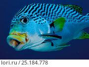 Купить «Bluestreak cleaner wrasse (Labroides dimidiatus) cleaning Diagonal banded sweetlips (Plectorhinchus lineatus) New Caledonia. Pacific Ocean.», фото № 25184778, снято 18 июня 2019 г. (c) Nature Picture Library / Фотобанк Лори