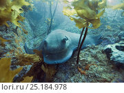 Купить «Cowray / Australian bull ray (Myliobatis australis), Three Kings Islands, New Zealand. Pacific Ocean.», фото № 25184978, снято 18 июня 2019 г. (c) Nature Picture Library / Фотобанк Лори