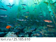 Kelp forest (Macrocystis pyrifera) with a school of Blacksmith fish (Chromis punctipinnis), a Garibaldi damselfish (Hypsypops rubicundus) and two California... Стоковое фото, фотограф Pascal Kobeh / Nature Picture Library / Фотобанк Лори