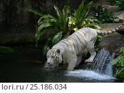 Купить «White bengal tiger (Panthera tigris tigris) entering water. Captive. Double recessive gene produces pale colour morph. Original wild individuals occurred in India. Now only found in captivity.», фото № 25186034, снято 21 сентября 2018 г. (c) Nature Picture Library / Фотобанк Лори