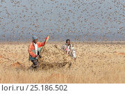 Купить «People catching Migratory locusts (Locusta migratoria capito) for human consumption with mosquito nets at early morning when they can not fly long distances...», фото № 25186502, снято 27 апреля 2018 г. (c) Nature Picture Library / Фотобанк Лори
