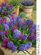 Купить «Hyacinths in flower, Norfolk, UK, March.», фото № 25187014, снято 19 октября 2018 г. (c) Nature Picture Library / Фотобанк Лори