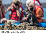 Купить «Galapagos penguin (Spheniscus mendiculus), being photographed by tourists from a boat, Sullivan Bay, Galapagos. April.», фото № 25187286, снято 22 марта 2019 г. (c) Nature Picture Library / Фотобанк Лори