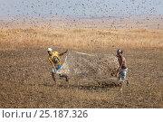 Купить «People catching Migratory locusts (Locusta migratoria capito) for human consumption with mosquito nets at early morning when they can not fly long distances...», фото № 25187326, снято 27 апреля 2018 г. (c) Nature Picture Library / Фотобанк Лори