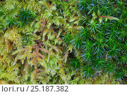 Купить «Red-stemmed Feather-moss (Pleurozium schreberi), Bank Haircap Moss (Polytrichum formosum) and Common Tamarisk-moss (Thuidium tamariscinum) growing together...», фото № 25187382, снято 15 ноября 2018 г. (c) Nature Picture Library / Фотобанк Лори