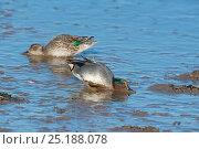 Купить «Eurasian teal (Anas crecca) pair feeding on mudflats at low tide, North Norfolk, February.», фото № 25188078, снято 27 мая 2020 г. (c) Nature Picture Library / Фотобанк Лори