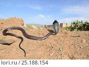 Купить «Egyptian cobra (Naja haje) with head up and hood expanded, near Taroudant, Morocco.», фото № 25188154, снято 26 апреля 2018 г. (c) Nature Picture Library / Фотобанк Лори