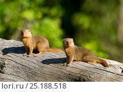 Купить «Dwarf mongooses (Helogale parvula)  Masai Mara Game Reserve, Kenya», фото № 25188518, снято 4 августа 2020 г. (c) Nature Picture Library / Фотобанк Лори